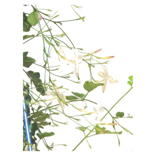 Jasminum officinale - Jazmín real. C20
