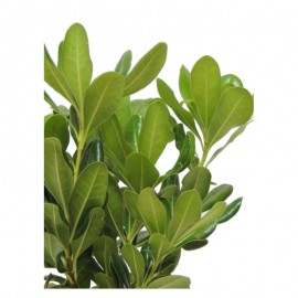 Pittosporum tobira -  Azahar de la China. C14