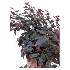 Loropetalum chinensis. C15