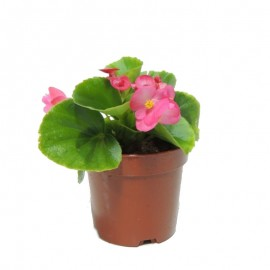 Begonia Semperflorens C11. Mix