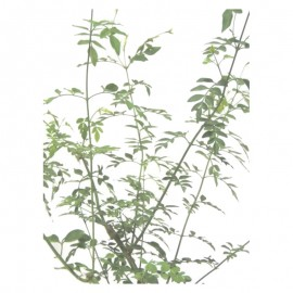 Jasminum officinale - Jazmín real. C16/17