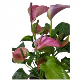 Anthurium andreanum. C17. Rosa Viveros González Natural Decor Centre