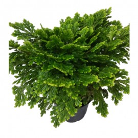 Selaginella. C13 Viveros González Natural Decor Centre Marbella