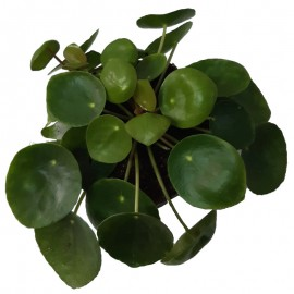 Pilea C13 Viveros González Natural decor Centre Marbella