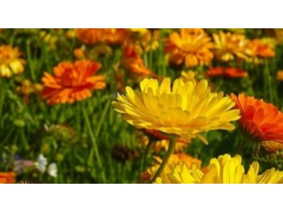 How to care for calendulas (so that they bloom all year round)