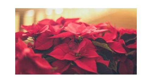 Looking for ideas to decorate with poinsettias? We give you several + step by step guide
